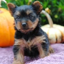 Yorkshire Terrier Puppies for Sale | PuppySpot   – Yorkie