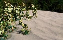 Jasper Lake Sand Dunes
