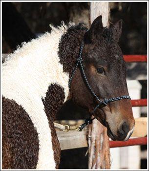 American Bashkir Curly Horses at Stag Creek Farm