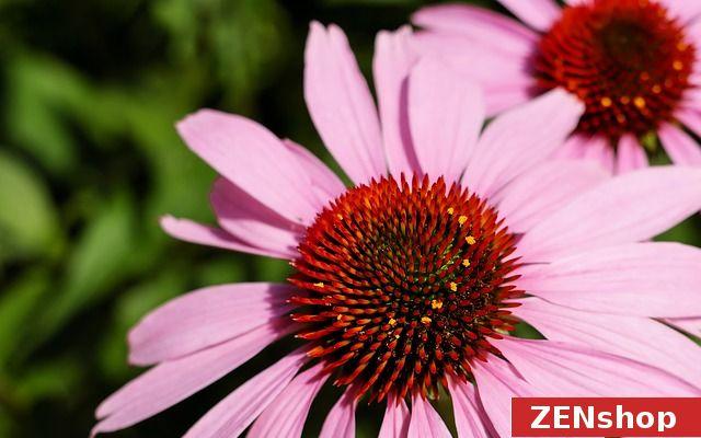 """Ešte stále """"vyčíňa"""" chrípka. To, že echinacea je výborna pri jej liečbe, na naštartovanie imunitného systému, určite viete. Echinacea je ružovo-zelená, preto sa spája so srdcovou čakrou. Spravidla ochorieme vtedy, keď sme vystresovaní, preťažení... Ružová a zelená podporujú regeneráciu a uzdravenie a upokojujuju city. Pre harmonizovanie srdcovej čakry môžete využiť aj polodrahokamy zelenej a ružovej farby, alebo špeciálne pre túto čakru navhrhnutý náramok a prívesok"""