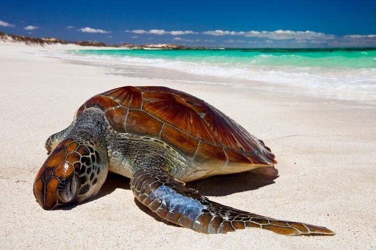 north west turtle @ five finger reef, ningaloo, western australia