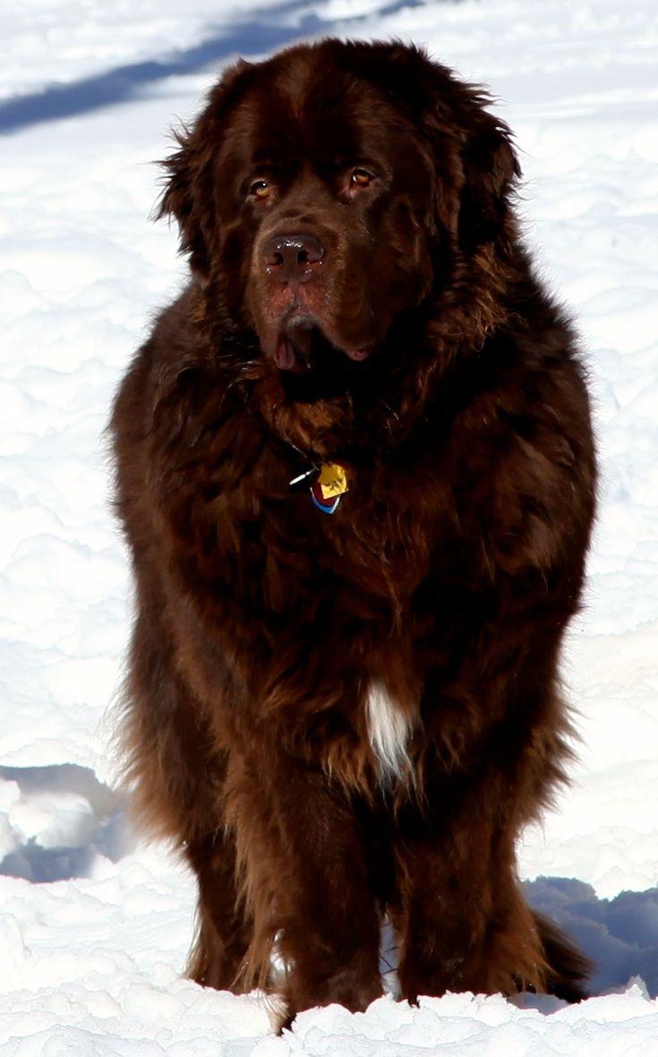 35 very beautiful newfoundland dog pictures - Samson Newfoundland Puppiesfurriesbig Dogsdog Breedssweetbeautiful Babiesdoggiescats