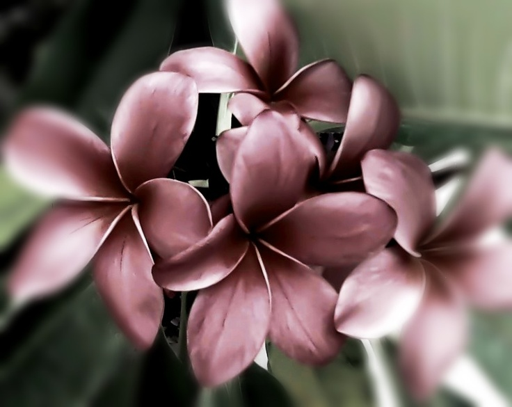 Beautiful plumerias in dreamy monotone hues. Original photography by Lenila L. Batali.