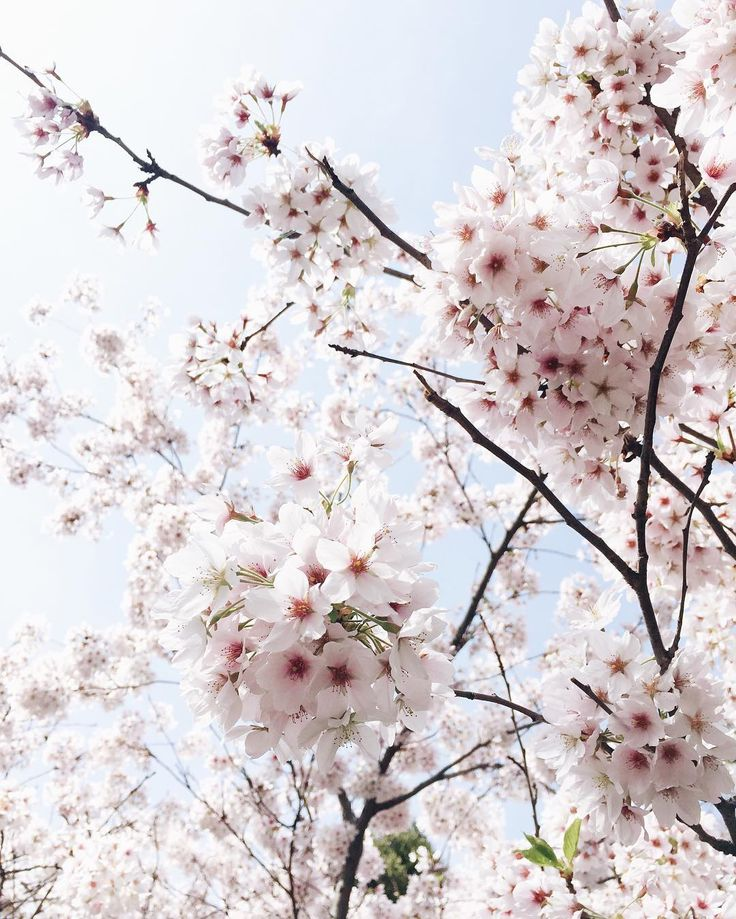 Amazing blue sky and soft pink blossom. Love Spring! I would love a tree like this in my garden. Pantone 2016 Rose Quartz.