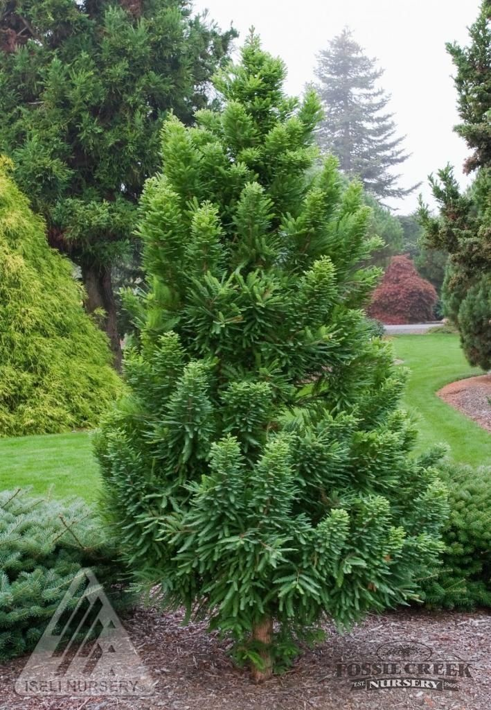 Bald cypress 39 peve minaret 39 taxodium distochum 6 39 tall for Tall evergreen trees for small gardens