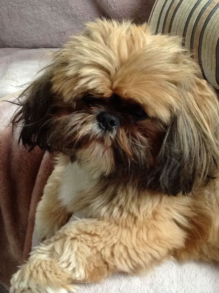 Gizmo needs a haircut