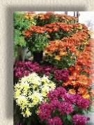 Fall Garden Mums  The most popular fall flowerFall Flower
