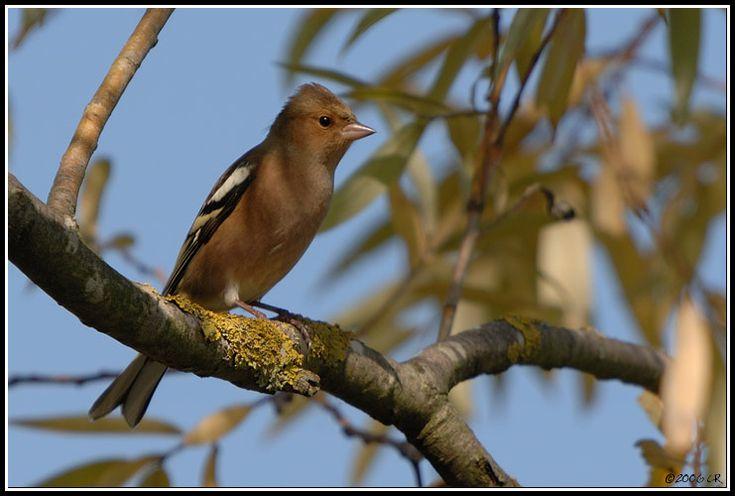 Pinson des arbres - Fringilla coelebs (Common chaffinch / Buchfink / Fringuello) 12-10-2006
