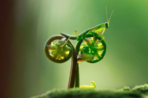 Uma foto na qual um louva-a-deus parece estar andando de bicicleta foi tirada pelo fotógrafo Eco Suparman.