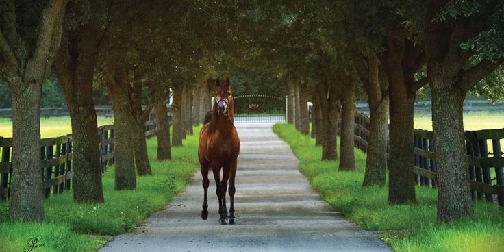 Arabian Horse World's April Photo of the Month: Living in Tennessee - Gallipoli BSF (Ever After NA x Little Miss Priss BSF by Marwan Al Shaqab), 2013 Stallion. Photo Nancy Pierce