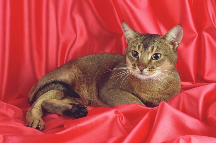 abyssinian photos | Abyssinian - Wallpapers, Pictures, Photos, Pics, Images | Desktop ...