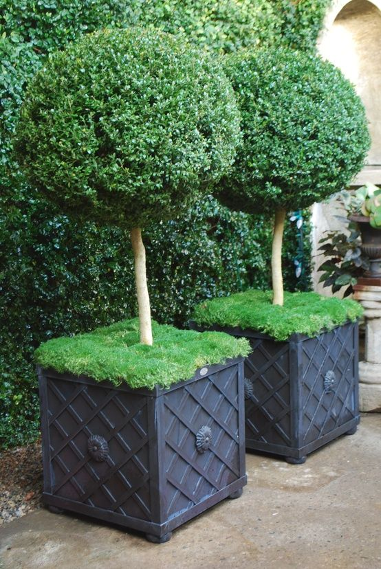 Large boxwood topiaries, moss, black planters with trellis pattern