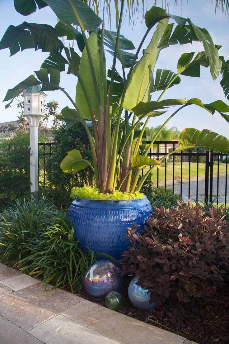 Florida garden blue container white bird of paradise
