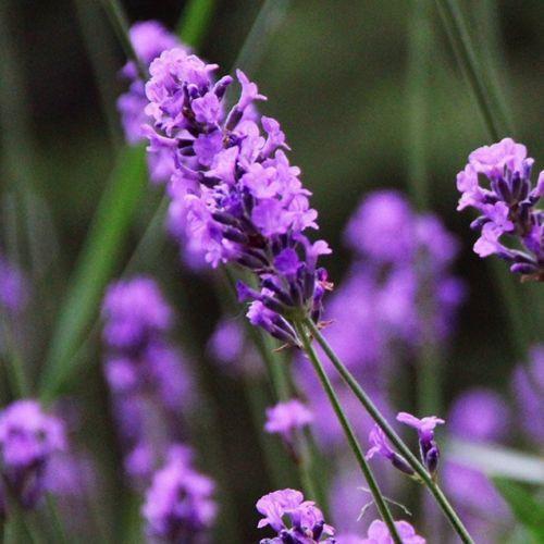 Lavender (60 Seeds)