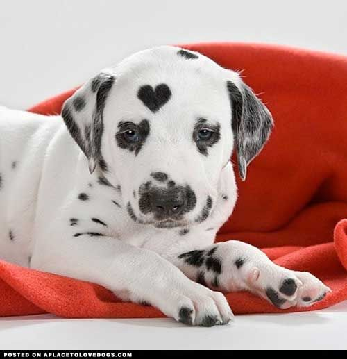 Puppies, Funny Pics, Valentine Day, Funny Pictures,  Carriage Dogs,  Coaches Dogs, Dalmatians, Heart Spots, Animal