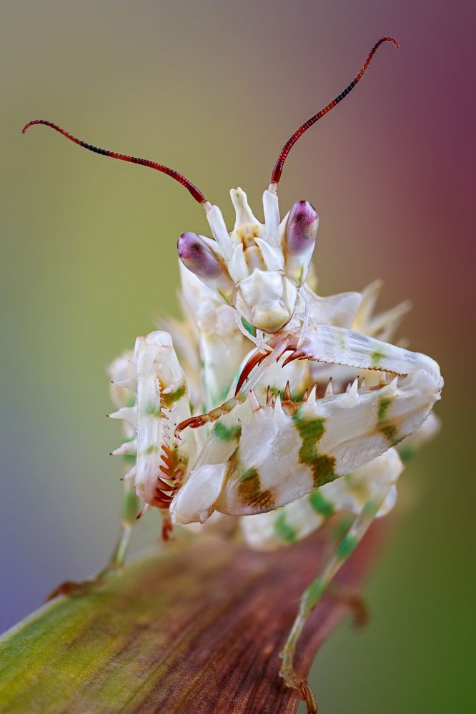 Blütenmantis http://fc-foto.de/35436523