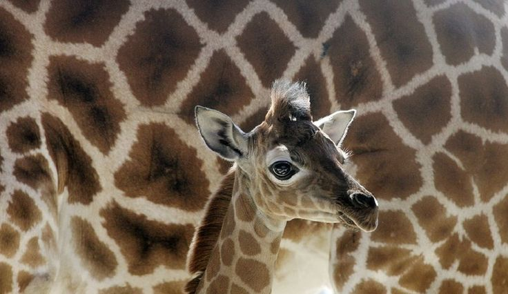 Giraffe Cam Is Back For April And Gang – Animal Adventure Park Giraffes Spread Cash Around