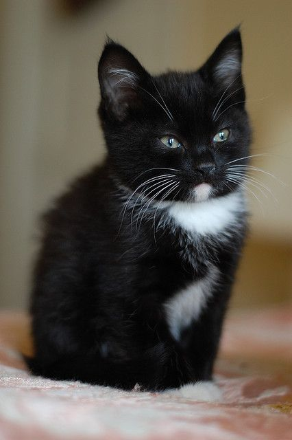 Black and White Kitten. My dog LOVES cats...He has 2 of his very own. I call this little fellow a tuxedo cat.
