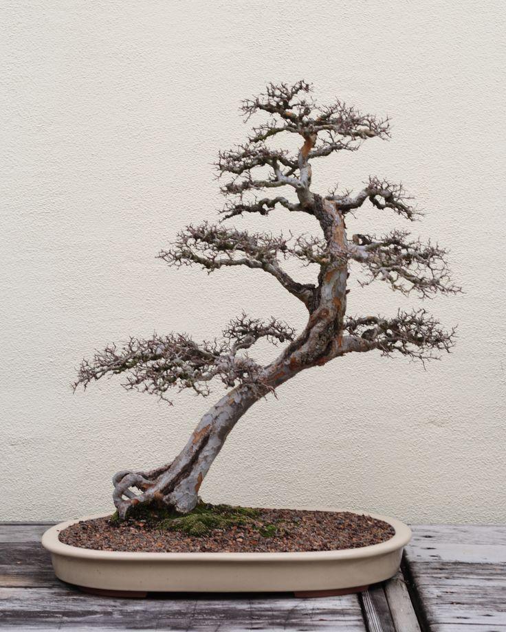 Chinese Elm Bonsai | Description Chinese Elm bonsai 110, December 24, 2008.jpg