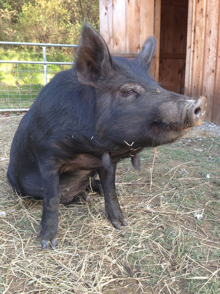 Wally is our resident Red Wattle farm hog and all around fantastic pig!!  He is the sweetest (and biggest) of all our porcine here at the Haven.  He is such a love!!!  We could not be happier that we were able to save him from the slaughter house.