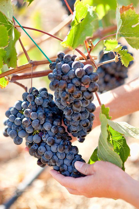 Grapes in Folegandros, Greece