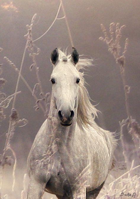 White Horse: Beautiful Hors, Dapple Grey, Grey Horses, Dreams, Soft Colors, Gifts, White Horses, Equestrian, Animal