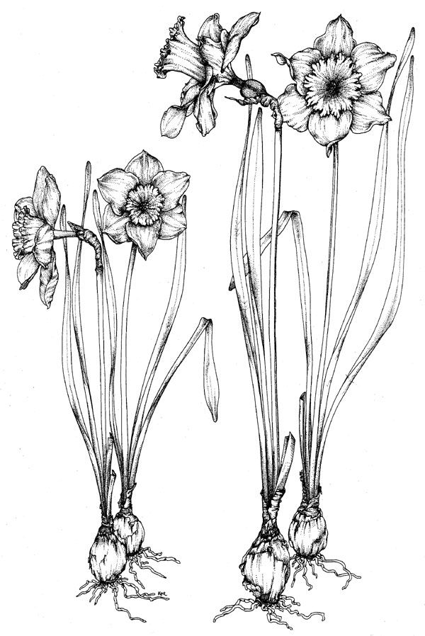 daffodil narcissus pseudo narcissus socrates called this plant the chaplet of