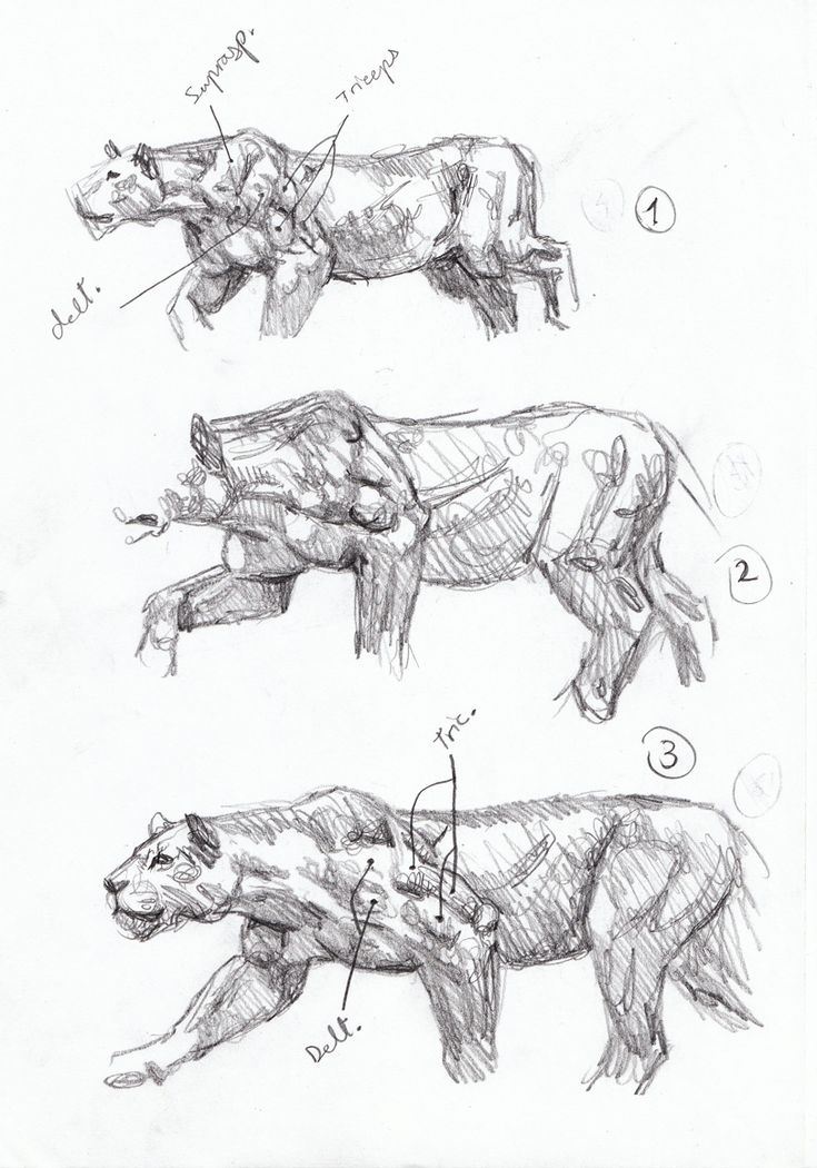 cheetah-anatomy-sketch-Smilodon hunting sequence sketch 1, Artist Sketchbooks , Study Resources for Art Students  CAPI ::: Create Art Portfolio Ideas at milliande.com, Art School Portfolio, Sketchbook, How to Draw Animals, Sketching, Animals, Cat, Big