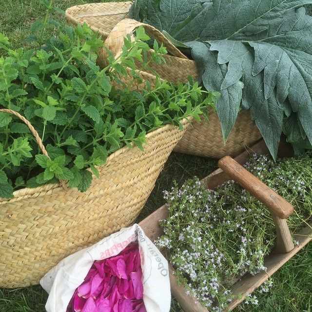 Today's harvest from the allotment- Lemon Balm, Artichoke leaves, Thyme and Rose petals. #Herbalmedicine #homegrown #herbs #allotment #herbalclinic