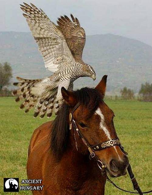 Ancient Hungary - Northern Goshawk & Horse - #NorthernGoshawk