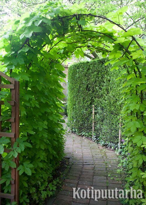 Kulku kotipuutarhassa on paljon jännempää, kun voi kulkea vihreän pergolan läpi. www.kotipuutarha.fi