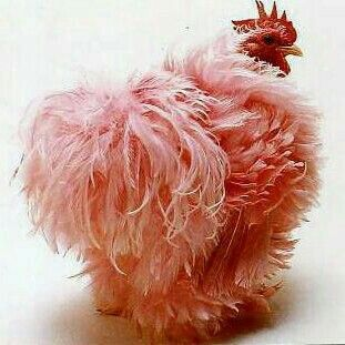 Pink Frizzle Hen Chicken. She looks like one of those frilly toilet roll covers that my granny used to have. In a good way of course.