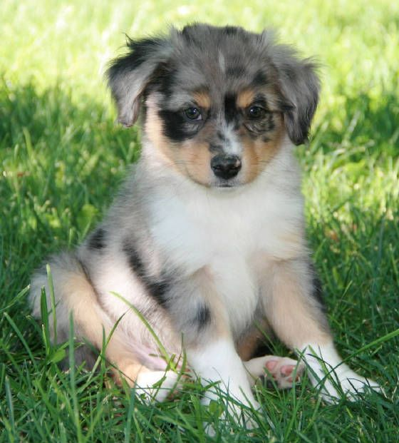 Breeders of Toy Australian Shepherds with puppies for sale in Blue & Red Merle to CA, WA, NV, AZ, NM, UT, CO, WY, PA, IA, OH, KS, MO