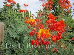drought resistant plants in Texas - Caesalpinia pulcherrima-I have it in my garden,it's easy to grow and propagates fast from seeds