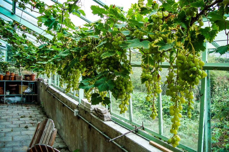 Beautiful, lush greenhouse with hanging grapes/hanging garden. Druiven kas Greenhouses & pavilions by groenpartners