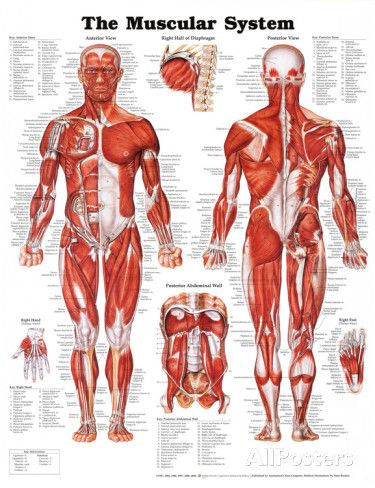 The Muscular System Anatomical Chart Poster Print Poster at AllPosters.com