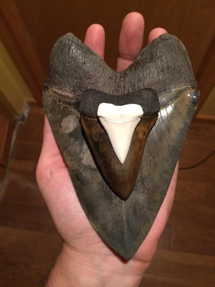 6 5/8 inch Megalodon tooth, 3 1/8 inch fossil Great White and 1 1/2 inch modern day Great White tooth.