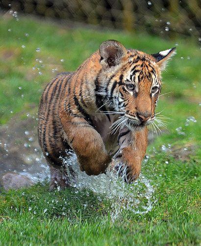 tiger cub 5963 | Flickr - Photo Sharing!