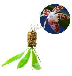 Phalaenopsis Corningiana Rp 195,000
