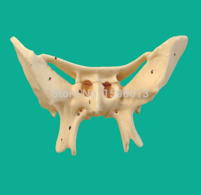 oltre 20 migliori idee su sphenoid bone su pinterest | nervi, Human Body