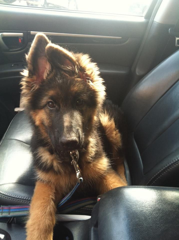 Long haired German Shepherd puppy