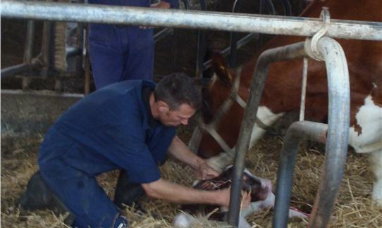 [Boer Wibe in de stal aan het kalveren op FarmCamps 't Oortjeshek.