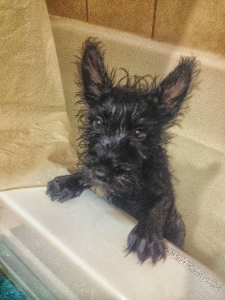 After a bath. Scottie, or rat?