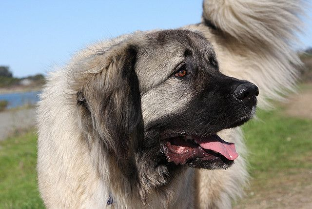 Caucasian Mountain dog, Caucasian Ovcharka, Shepherd dog, Sheepdog ...
