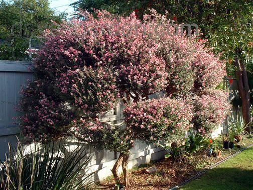 17 Best Images About Drought Tolerant Shrubs And Flowers
