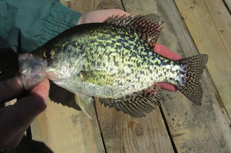 M s de 25 ideas incre bles sobre anzuelos para pomoxis en for Crappie fishing secrets