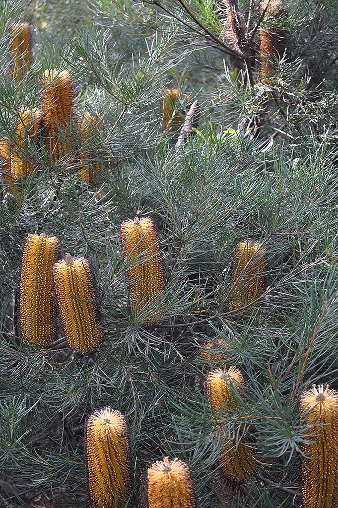 https://flic.kr/p/u6Hj7U   Australian National Botanic Gardens   Banksia Spinulosa :: © Gabriella Tagliapietra / Pinch River