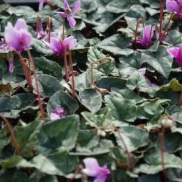 3 Alpenviooltje (Cyclamen hederifolium)-directplant