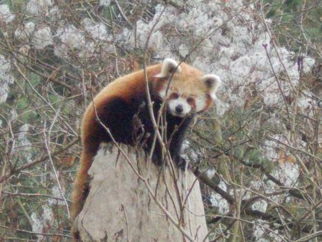 Zoo Ústí nad Labem - Panda červená (108 pieces)