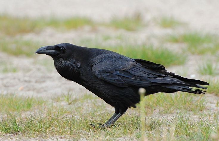Caw vs. Kraa: the meaning in the calls of crows and ravens   @GrrlScientist — Medium